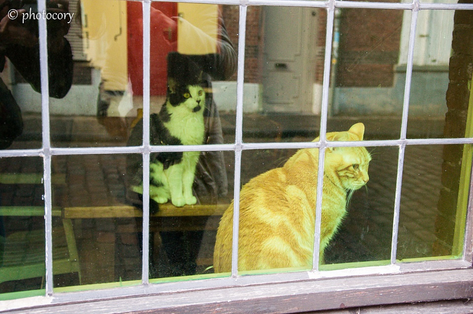 Belgian cats staying in the window. Big, beautiful and lazy.
