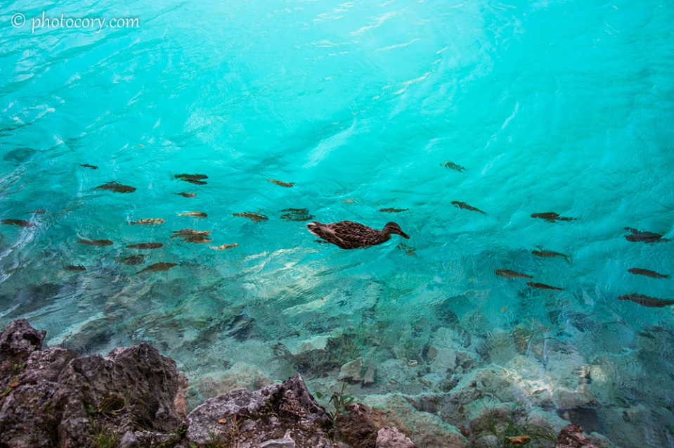 Duck swimming with fish on the cristal clear water