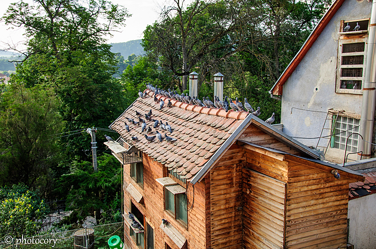 Many pigeons on the roof