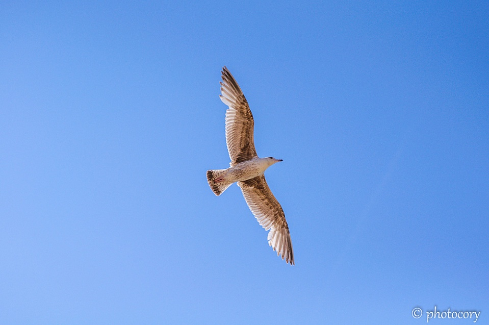 Seagull free in the sky