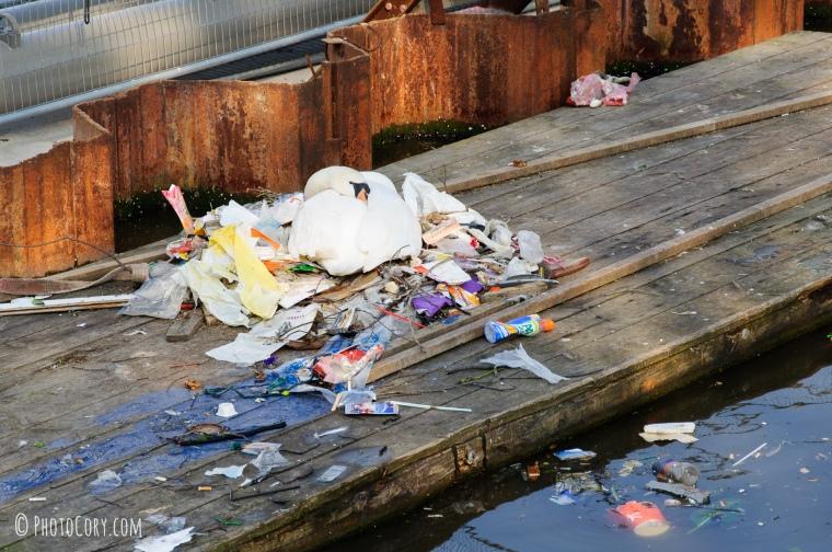 swan in trash in amsterdam