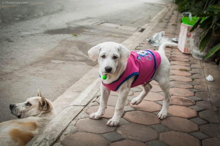 dog with vest thailand