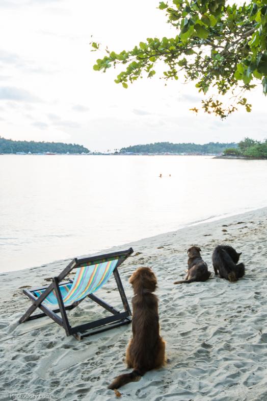 Dogs at sunset/ Catei pe plaja la apus