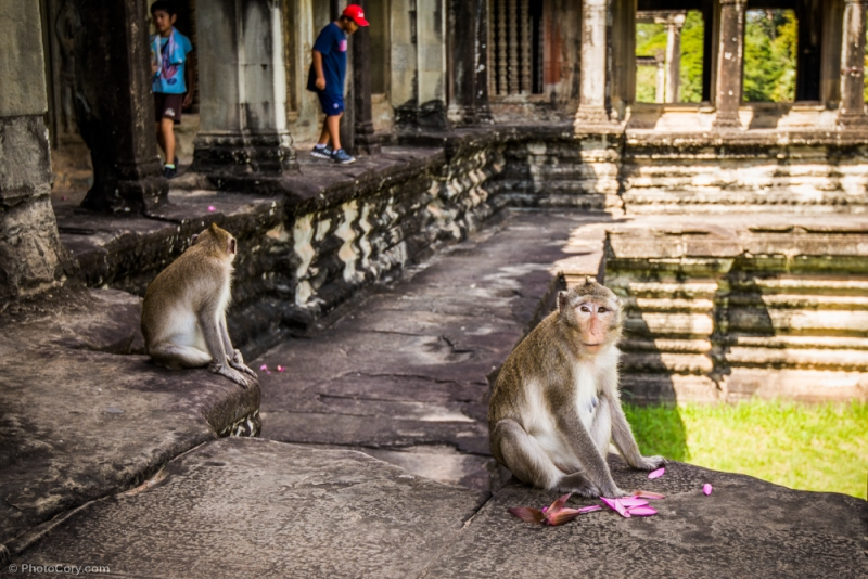 monkey angkor