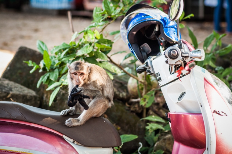 this monkey stole a glove and played with it/ Aceasta maimuta a furat o manusa si s-a jucat cu ea