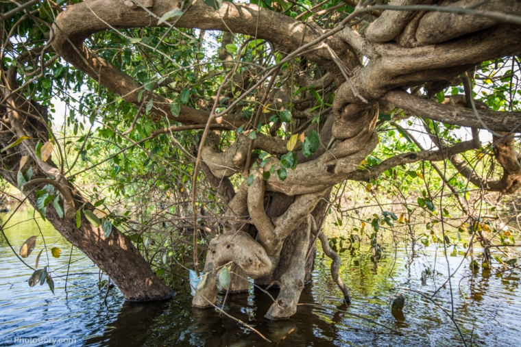 tree flooded forest cambodia