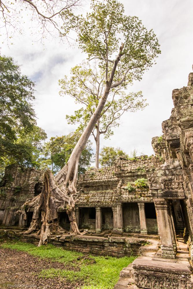 tree preah khan