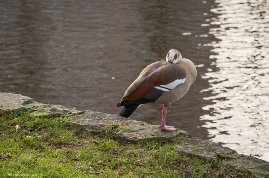 duck on one leg lake