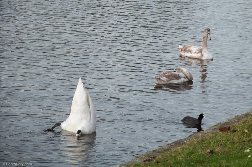 swan flagey