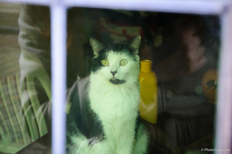 black and white cat, kittie in window
