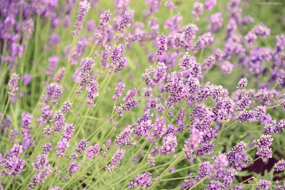 desktop background flowers mauve