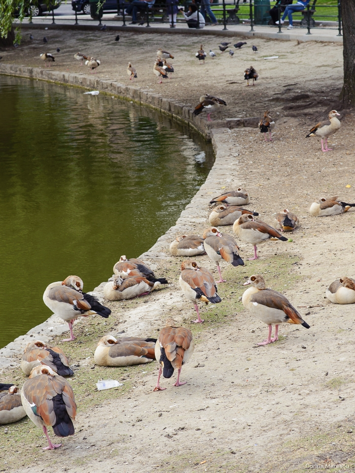 many duck at flagey lakes ponds