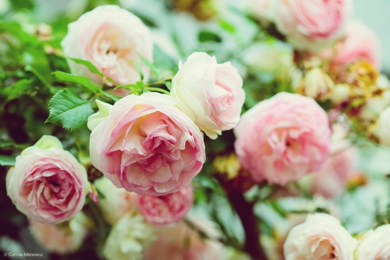 faded pink roses