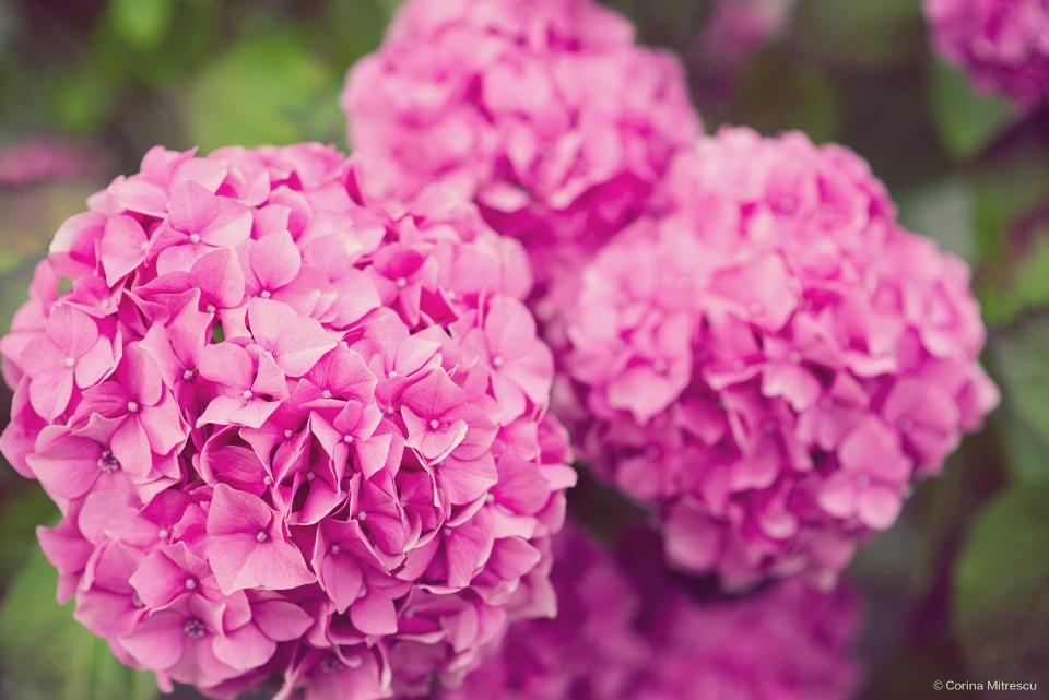 flori roz buchete mari
