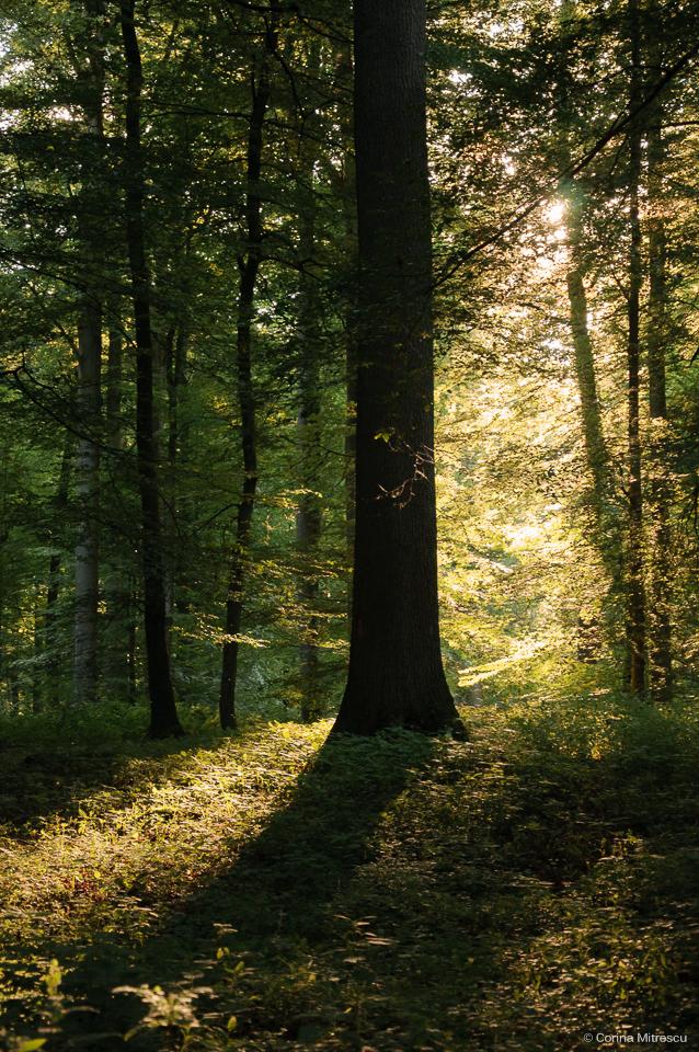 foret de soignes sun trees