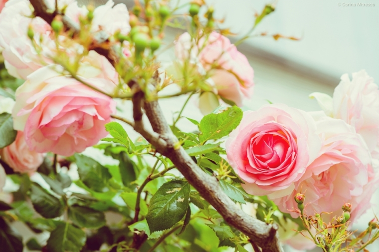 pink dusty roses