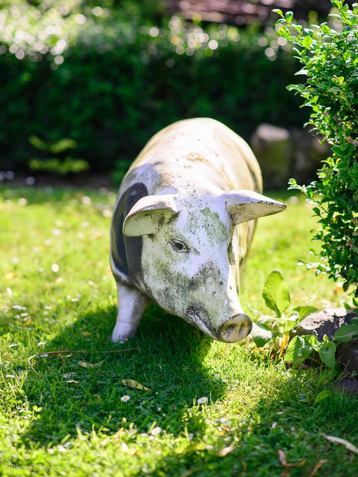 staute white pig