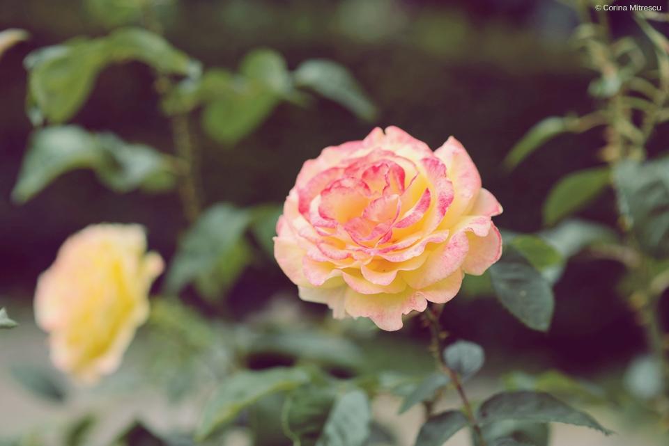 trandafir piersica