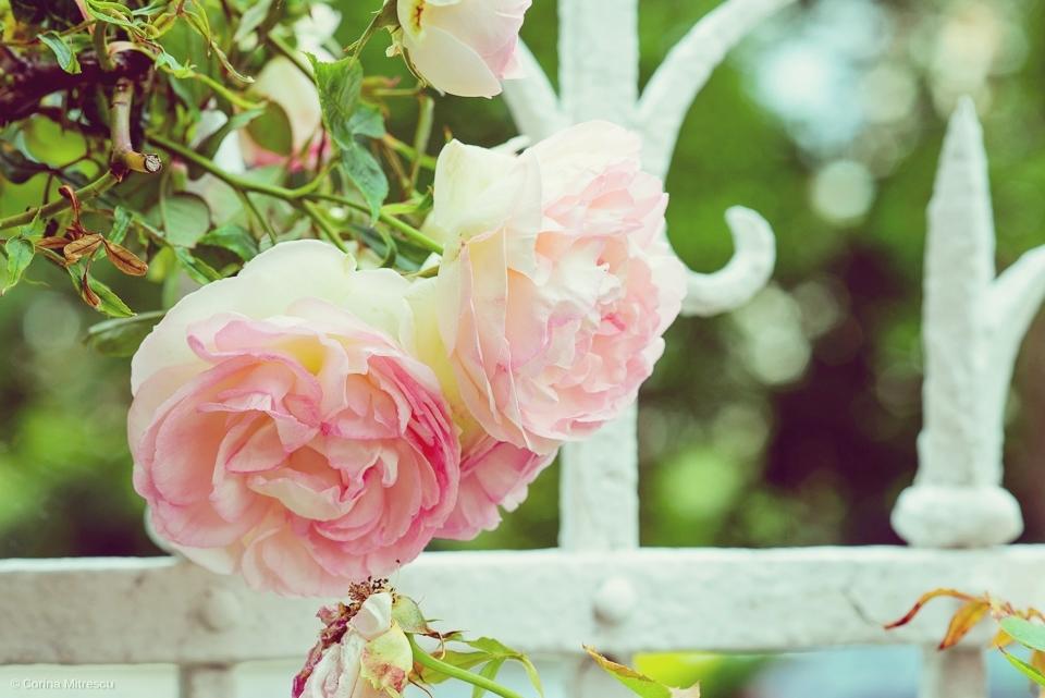 trandafiri roz efect sters fotografie