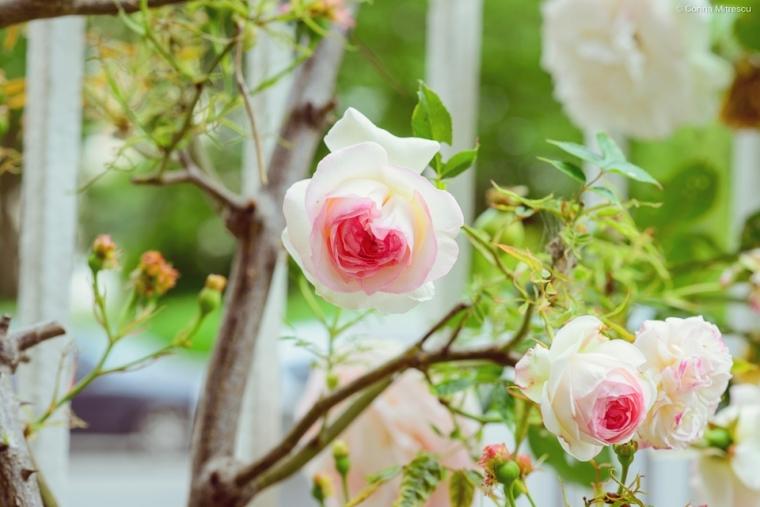 trandafiri roze