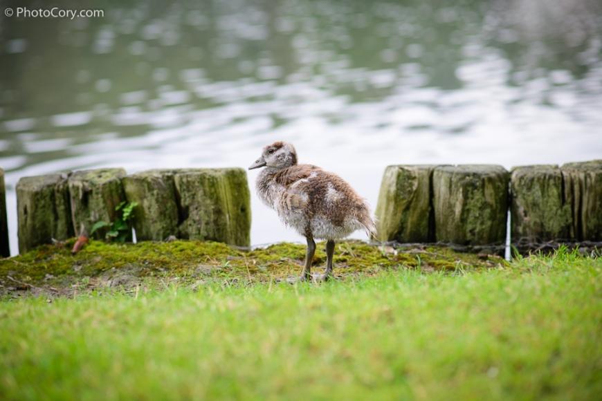 duckling at lake