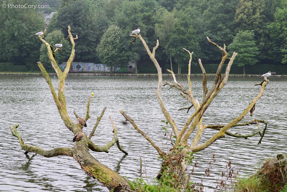 genval lac belgique, oiseaux