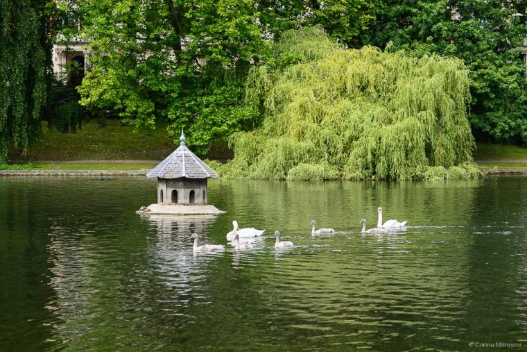 swans babies lake flagey