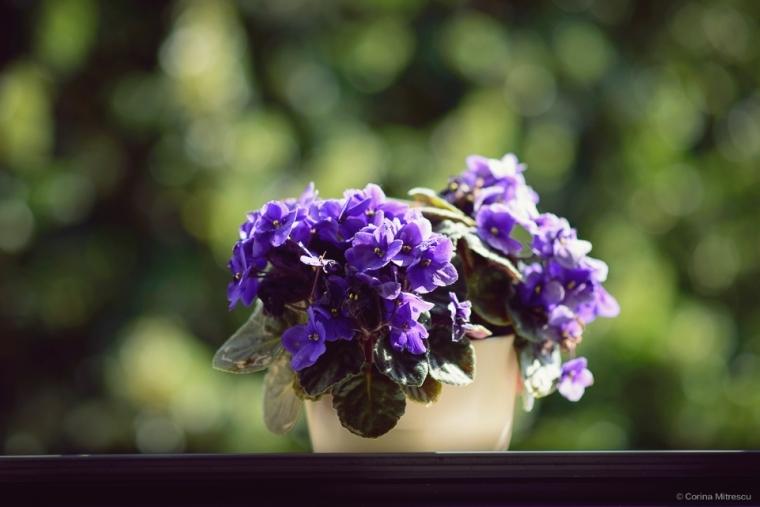 violete in fereastra