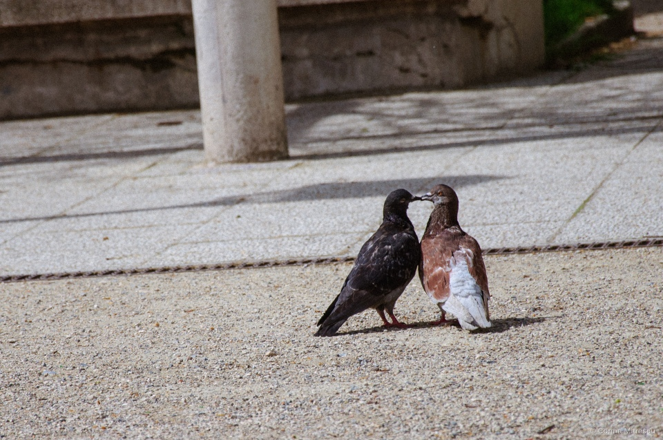 pigeon kissing paris