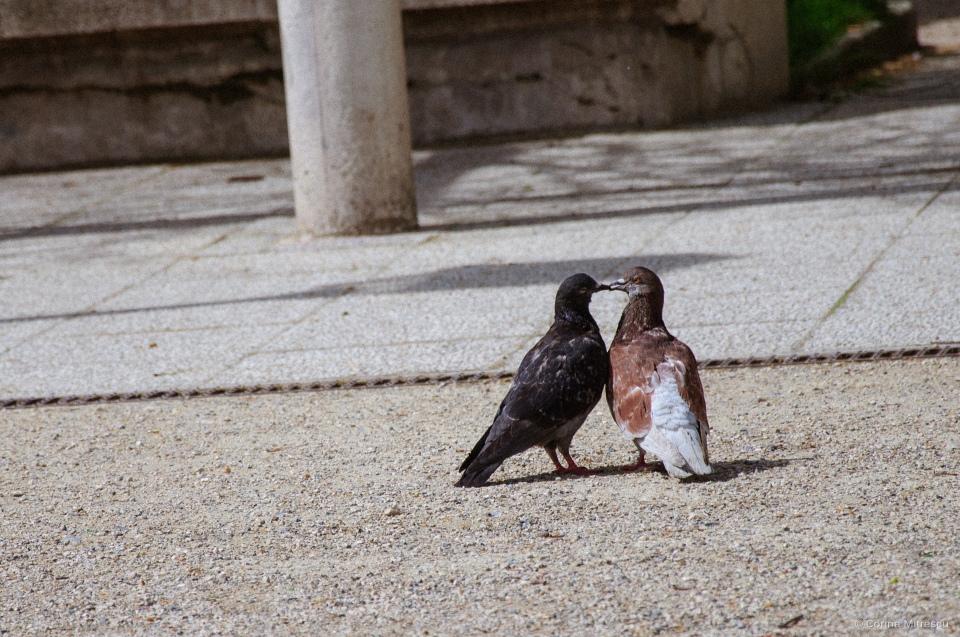 pigeon kissing paris
