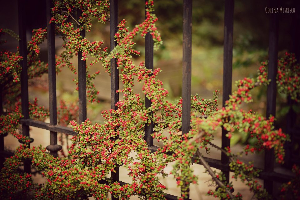 plant with small red berries on fence