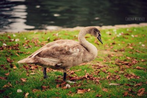 swan baby mature big grey