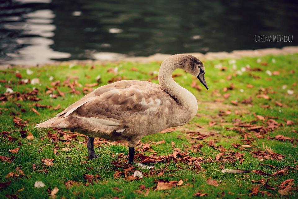 swan baby mature big grey