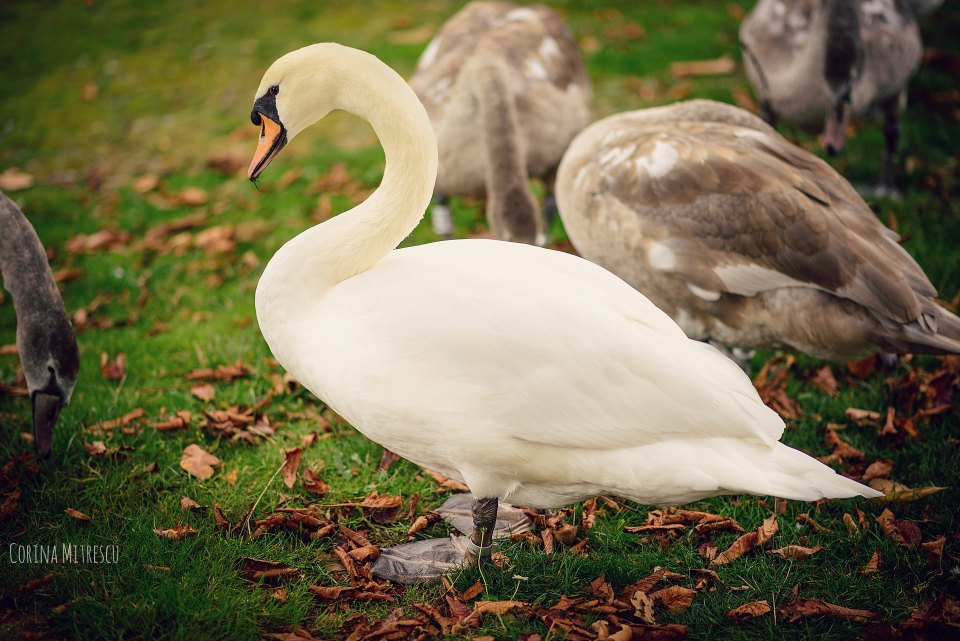 white swan with grown babies