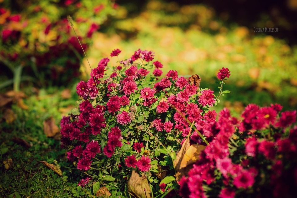 burgundy autumn flowers
