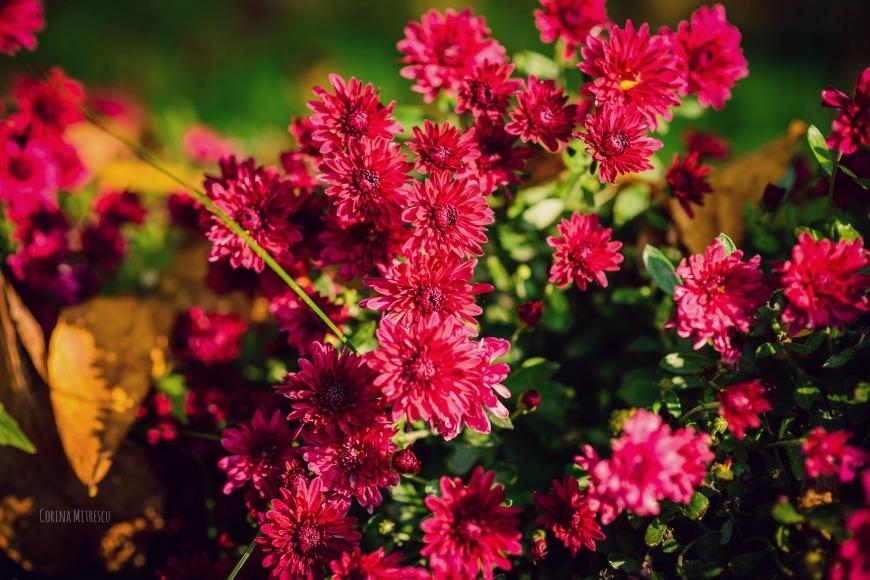 crizanteme roz toamna