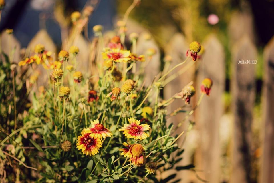 flori de toamna langa un gard