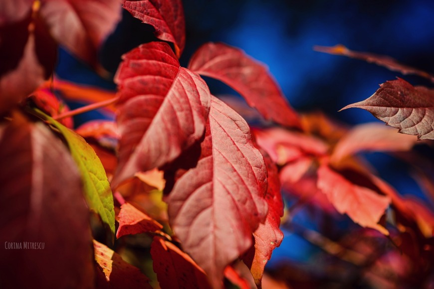 red leaves autumn