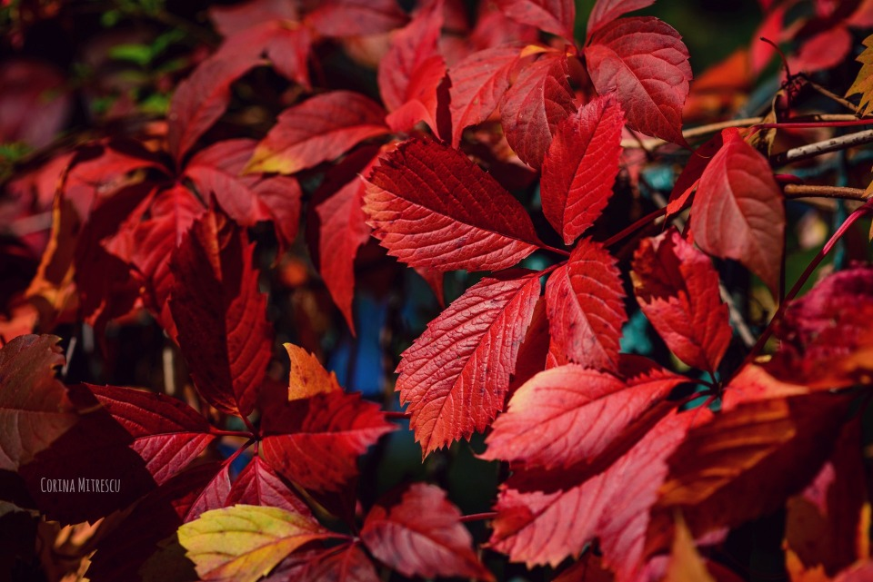 red leaves in autumn, frunze rosii toamna