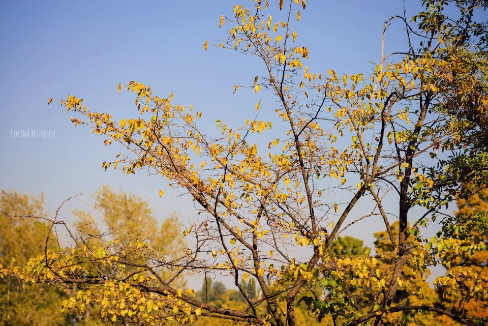 yellow trees blue sky autumn