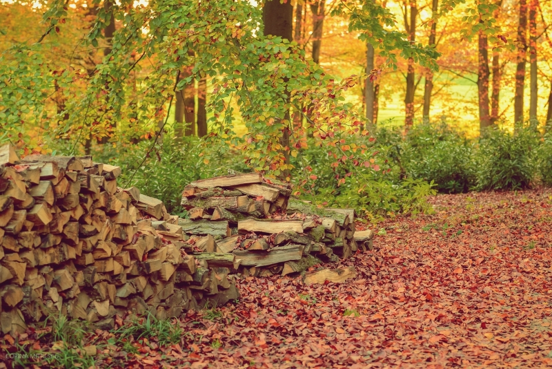 autumn forest with wooden logs