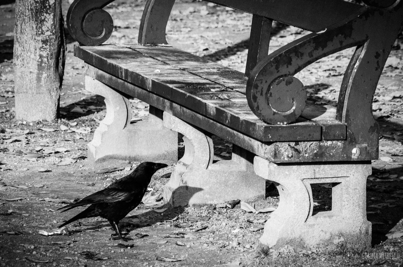 crow next to bench, black and white photo