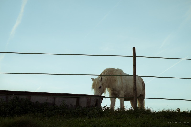 white horse behind fence