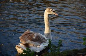 big swan baby