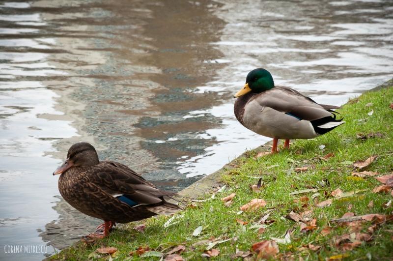 ducks leopold park
