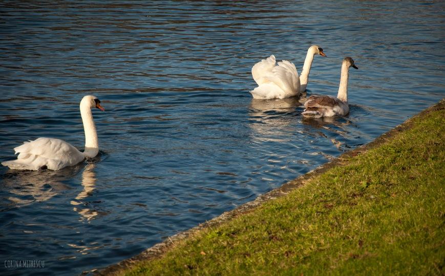flagey swans