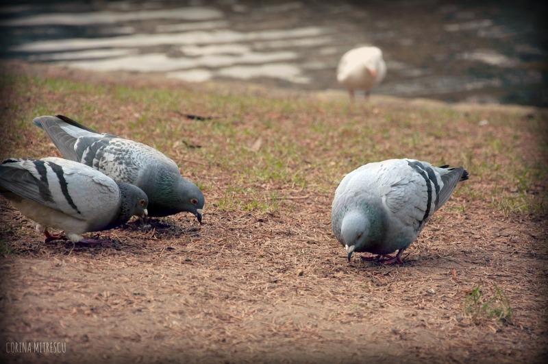 pigeons eating
