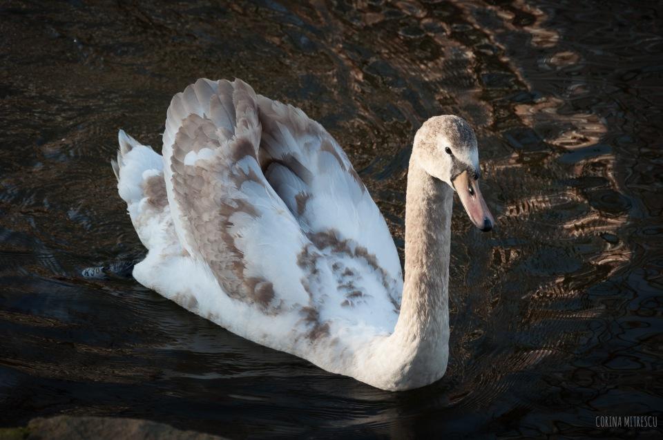 swan white beige