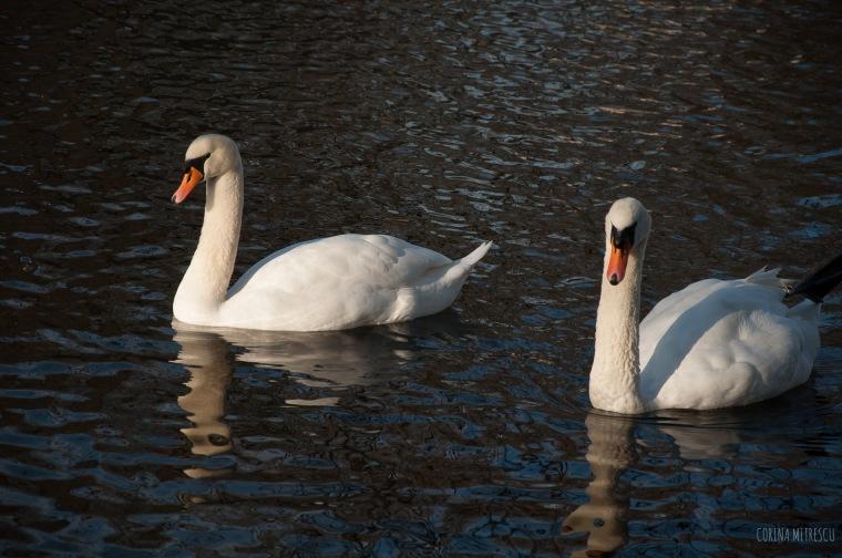 swans couple