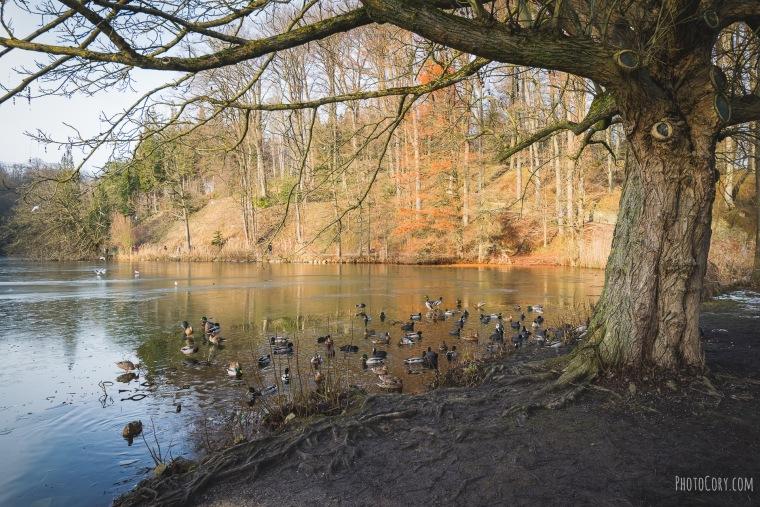 ducks la hulpe frozen lake